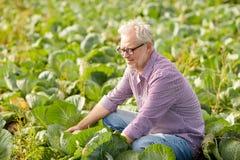 Cavolo bianco crescente dell'uomo senior all'azienda agricola Immagini Stock