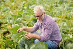 Cavolo bianco crescente dell'uomo senior all'azienda agricola Immagine Stock Libera da Diritti