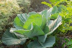 Cavolo che cresce nel campo, agricoltura rurale nel Bengala Occidentale, India Fotografia Stock