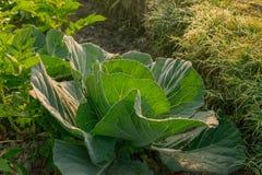 Cavolo che cresce nel campo, agricoltura rurale nel Bengala Occidentale, India Fotografia Stock Libera da Diritti