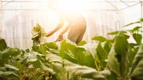 Cavolo cinese organico di immagine del raccolto molle dell'uomo nella serra NU Immagine Stock