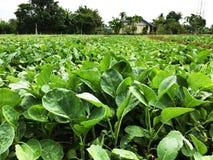 Cavolo cinese organico nell'azienda agricola di agricoltura Immagine Stock