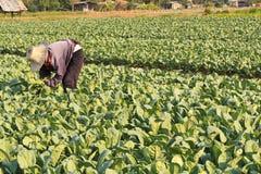 Giacimento d'innaffiatura del cavolo del coltivatore. Fotografia Stock Libera da Diritti