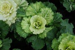 Cavolo decorativo multicolore in fiore - cavolo fresco che cresce nel giardino fotografia stock