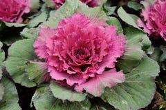 Cavolo decorativo multicolore in fiore - cavolo fresco che cresce nel giardino immagine stock libera da diritti