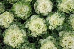 Cavolo decorativo multicolore in fiore - cavolo fresco che cresce nel giardino fotografia stock libera da diritti