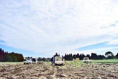 Cavolo del raccolto dell'agricoltore in azienda agricola con i camion nel Giappone Kagoshima Sakurajima Fotografia Stock Libera da Diritti