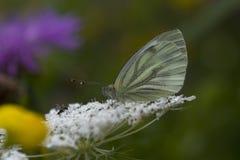 Cavolo della farfalla Immagini Stock Libere da Diritti