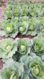 Cavolo di agricoltura biologica immagine stock