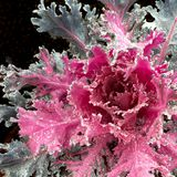 Cavolo di fioritura dopo una pioggia congelantesi Fotografia Stock Libera da Diritti