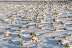 Cavolo di inverno unharvested campo fotografia stock libera da diritti