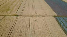 Cavolo e grano in un campo video d archivio