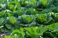 Cavolo fresco dal campo dell'azienda agricola, cavolo nel giardino immagini stock