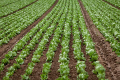 Cavolo fresco dell'insalata verde su agricoltura di estate del campo Fotografia Stock Libera da Diritti