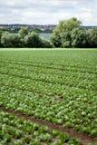 Cavolo fresco dell'insalata verde su agricoltura di estate del campo Fotografie Stock Libere da Diritti