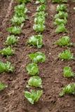 Cavolo fresco dell'insalata verde su agricoltura di estate del campo Fotografie Stock
