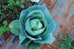 Cavolo fresco di agricoltura in azienda agricola non tossica Da rurale della Tailandia Fotografia Stock
