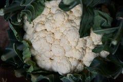Cavolo fresco di raccolto del raccolto fresco del cavolfiore Fotografia Stock Libera da Diritti
