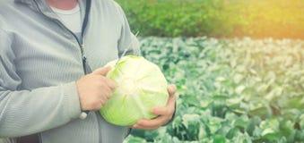 Cavolo fresco nel campo buona agricoltura del raccolto agroculture h Fotografia Stock