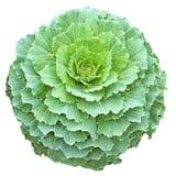 Cavolo longevo verde nella forma circolare isolato Fotografie Stock