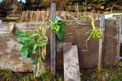 Cavolo montenegrino nel mio giardino organico soleggiato e nevoso, immagine stock