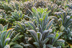 Cavolo nero in the field from close Royalty Free Stock Images
