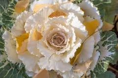 Cavolo ornamentale bianco Immagini Stock