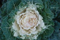 Cavolo ornamentale con le foglie bianche Verdure decorative Pianta floreale da aiuola autunnale decorativa Immagini Stock
