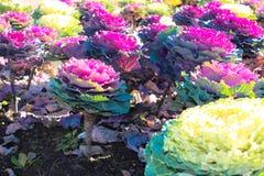 Cavolo ornamentale in giardino Fotografie Stock Libere da Diritti