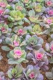 Cavolo ornamentale nel giardino, parco nazionale di Doi Inthanon Fotografia Stock Libera da Diritti