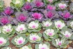 Cavolo ornamentale nel giardino, parco nazionale di Doi Inthanon Immagini Stock