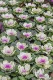 Cavolo ornamentale nel giardino, parco nazionale di Doi Inthanon Fotografie Stock Libere da Diritti