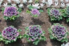 Cavolo ornamentale piantato nelle file immagini stock libere da diritti