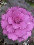 Cavolo porpora ornamentale Fotografia Stock