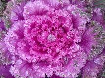 Cavolo rosa Fotografie Stock Libere da Diritti