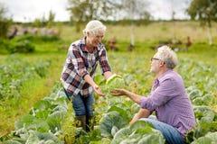 Cavolo senior di raccolto delle coppie sull'azienda agricola Immagini Stock Libere da Diritti