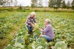 Cavolo senior di raccolto delle coppie sull'azienda agricola Fotografia Stock