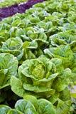Cavolo verde Fotografia Stock Libera da Diritti