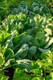 Cavolo verde crescente immagine stock libera da diritti