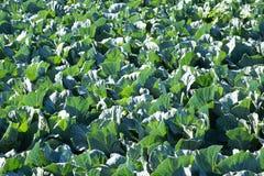 Cavolo verde frondoso di Upclose nel campo Immagine Stock Libera da Diritti
