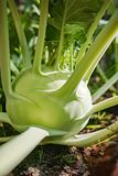 Cavolo verde organico del cavolo rapa che cresce nel giardino dell'azienda agricola, nuovo harve Fotografia Stock Libera da Diritti