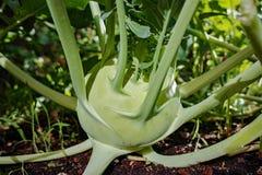 Cavolo verde organico del cavolo rapa che cresce nel giardino dell'azienda agricola, nuovo harve Immagine Stock Libera da Diritti