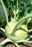 Cavolo verde organico del cavolo rapa che cresce nel giardino dell'azienda agricola, nuovo harve Immagini Stock Libere da Diritti