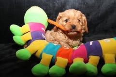 Cavoodle valp med en leksak Royaltyfria Bilder