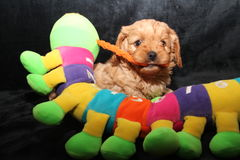 Cavoodlepuppy met een stuk speelgoed Royalty-vrije Stock Afbeeldingen