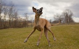 Cavorting great Dane with stormy sky stock photo
