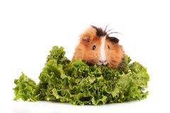 Cavy. Funny brown cavy on white background Stock Photos