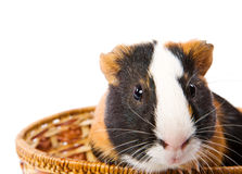 Cavy Royalty Free Stock Image