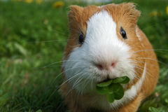 Cavy Stock Photography