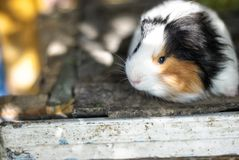 Cavy. A big cavy home pet Stock Image